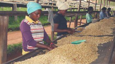 Die Reise unseres Kaffees vom Strauch in Ihre Tasse #Kaffeeherstellung