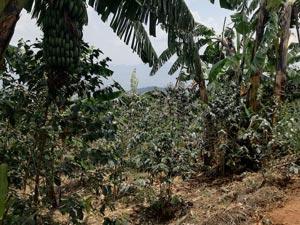 Kaffee Kooperative Bio Mischkultur