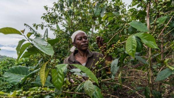 Kaffee Kooperative kaffeeplantage laurence